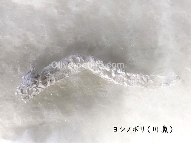 カワヨシノボリ(川魚)のご遺骨